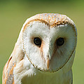 Headshot Of Common Barn Owl by Dave Montreuil