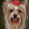 Headshot Of Show Yorkshire Terrier by Piperanne Worcester