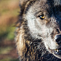 Headshot Of Wolf, Rapid City, South by Cameron MacPhail