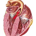 Heart Anatomy, Artwork by Science Photo Library