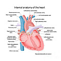 Heart Anatomy by Carlyn Iverson