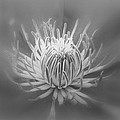 Heart Of A Red Clematis In Black And White by Mother Nature