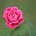 Heart Of My Heart Rose by Barb Dalton