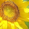 Heart Of The Sunflower by Maria Urso