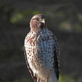 Heartful Hawk by DigiArt Diaries by Vicky B Fuller