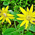 Heartleaf Arnica In Banff National Park-alberta    by Ruth Hager