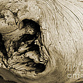 Heartwood - Sepia Tone - Wonderwood Collection - Olympic Peninsula Wa by Craig Dykstra