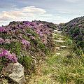 Heather On Simonside Hills by Chris Frost
