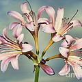 Heavenly Lilies by Elizabeth Winter
