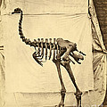 Heavy Footed Moa Skeleton by Getty Research Institute