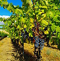 Heavy On The Vine At The High Tower Winery  by Jeff Swan