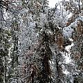 Heavy Snow On Fall Trees by Gerald Blaine