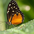 Hecale Longwing Butterfly by Doug McPherson