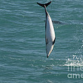 Hector Dolphin Diving by Loriannah Hespe