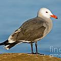Heermanns Gull On Rock by Anthony Mercieca