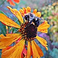 Helenium Bumble Bee by MTBobbins Photography