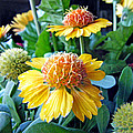 Helenium Flowers 1 by Duane McCullough