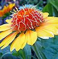 Helenium Flowers 2 by Duane McCullough