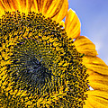 Helianthus by Rob Sellers