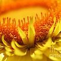 Helichrysum Bracteatum Named Strawburst Yellow by J McCombie