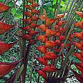 Heliconia Haven by Ethel Mann