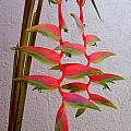 Heliconia Platystachys by Mary Deal