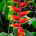 Heliconia Rostrata 2 - A Blooming Heliconia Rostrata Flower by Nature  Photographer
