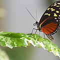 Heliconius Butterfly On Green Leaf by Michael Moriarty