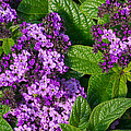 Heliotrope Flowers In Bloom by John Trax