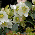Hellebore And Friends by Guido Strambio