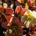 Helleborus Backlight Blossoms by Douglas Barnett