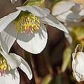 Helleborus Niger - Christrose by Eva-Maria Di Bella