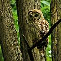 Hello Barred Owl by William Fox