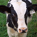 Hello My Name Is Cow by Joseph Skompski