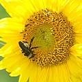 Hello Sunflower by Maria Urso