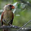 Hello Young Cardinal by Cheryl Baxter
