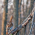 Hen Ruffed Grouse On Roost by Timothy Flanigan and Debbie Flanigan Nature Exposure