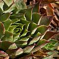 Hens And Chicks Sedum 1 by Douglas Barnett
