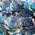 Hens And Chicks Series - Evening Light by Moon Stumpp