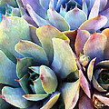 Hens And Chicks Series - Soft Tints by Moon Stumpp