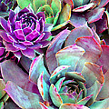 Hens And Chicks Series - Urban Rose by Moon Stumpp
