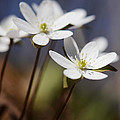 Hepatica White Wildflower by Minartesia