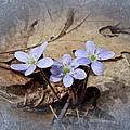 Hepatica Wildflowers - Hepatica Nobilis by Mother Nature