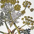 Herbal: Fennel, 1819 by Granger