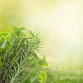 Herbs With Copyspace by Mythja  Photography