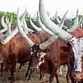 Herd Of Ankole-watusi Cattle, Kenya by Martin Harvey