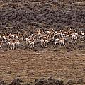 Herd Of Antelope   #8552 by J L Woody Wooden