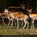 Herd Of Blackbuck Antilopes In A Dark Forest by Nick  Biemans