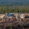 Herd Of Broad Pass by Thomas Sellberg