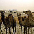 Herd Of Camels In A Farm, Abu Dhabi by Panoramic Images